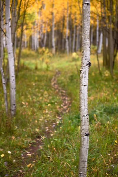 footpath, trail, tree, aspen, fall, autumn, Colorado, photo