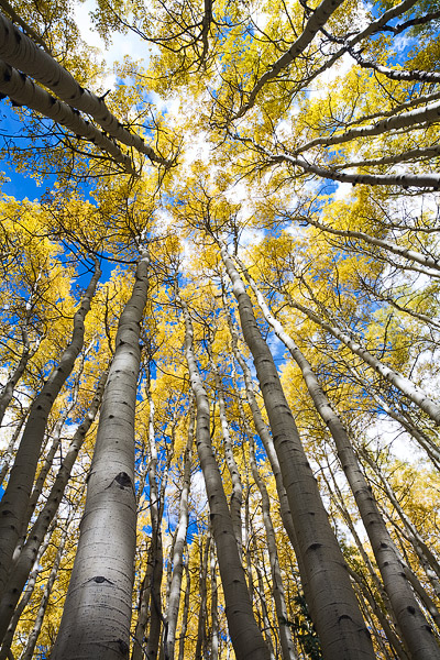 Looking up at a colorful canopy of aspens in the West Elk Mountains of Colorado.