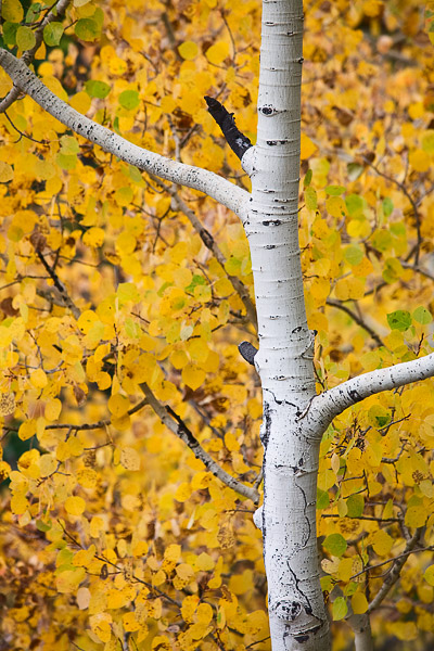 Aspen branches stretching out to autumn color.