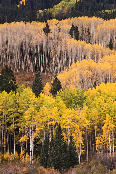 Beckwith, fall, autumn, aspen, mountain, tree, photo
