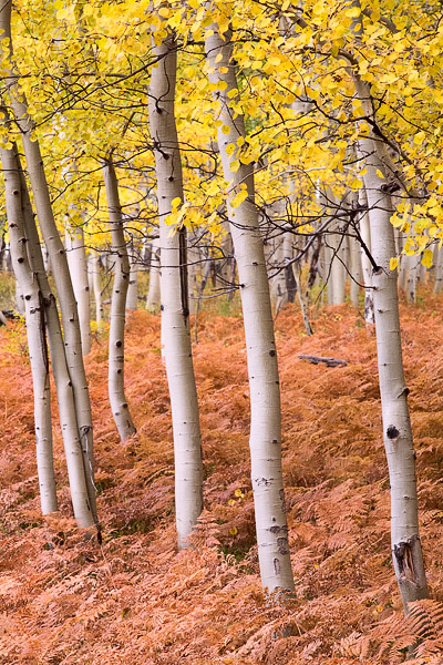 autumn, aspen, fern, Kebler Pass, Colorado, photo