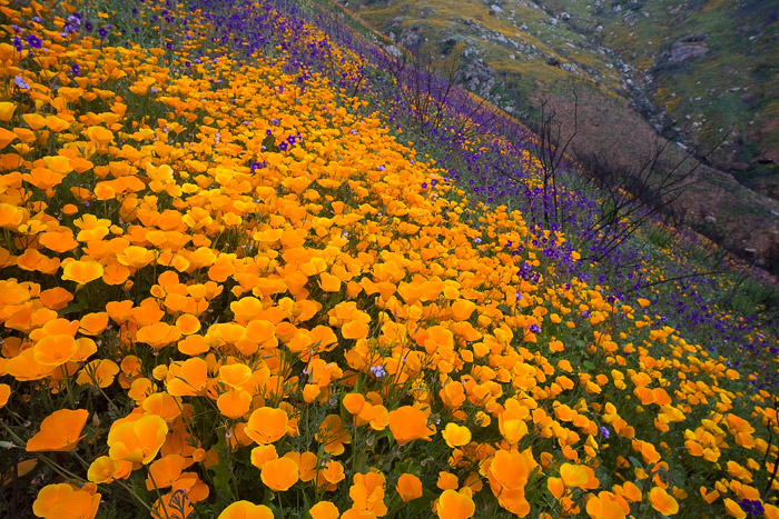 wildflower, poppy, flower, hill, wildfire, bloom, spring, San Diego, photo