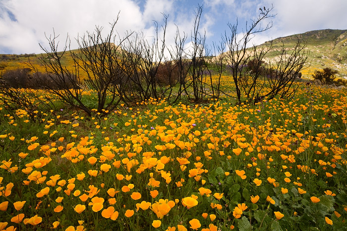 wildflower, flower, spring, bloom, wildfire, San Diego, photo