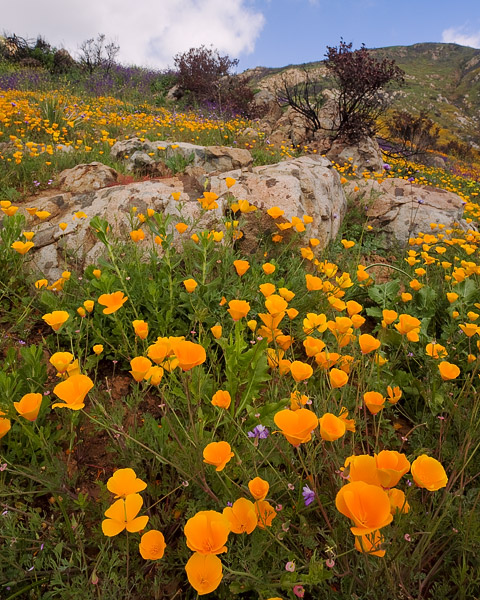 wildflower, flower, spring, poppy, wildfire, San Diego, photo