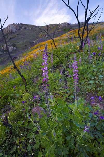 wildflower, flower, wildfire, spring, San Diego, lupine, poppy, photo