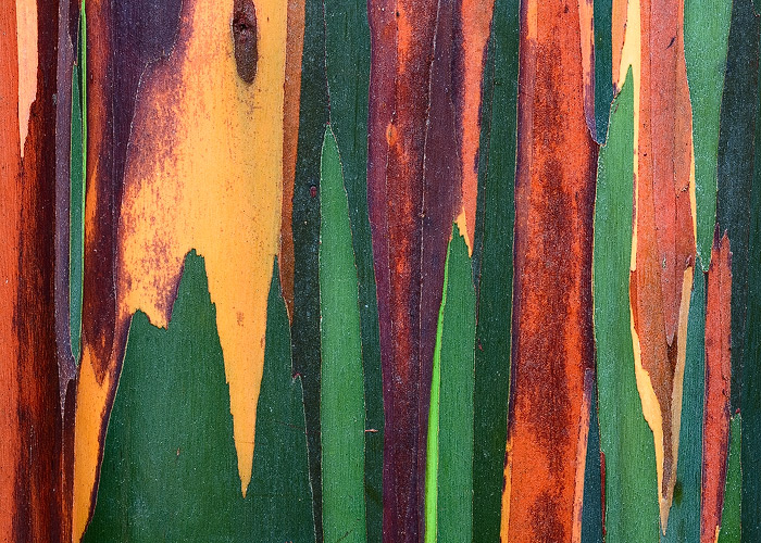 The bark of the Rainbow Eucalyptus in Hawaii is some of the most colorful tree elements I have ever witnessed.