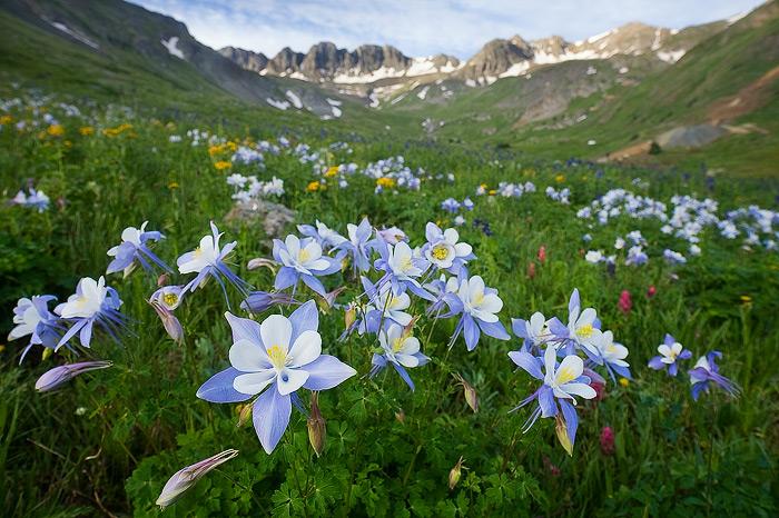 columbine, American Basin, mountain, sunrise, wildflower, summer, Colorado, photo