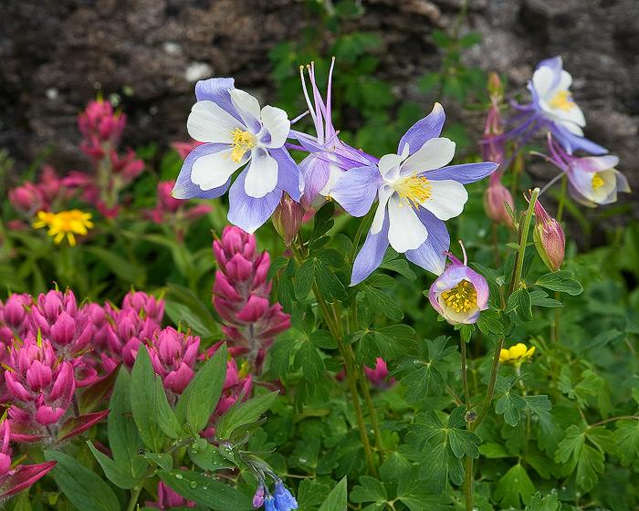 wildflower, bouquet, flower, Colorado, Porphyry, photo