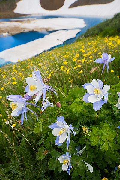 Summer fields of wildflowers, including these Columbine, flourish above the striking blue of Green Lake.