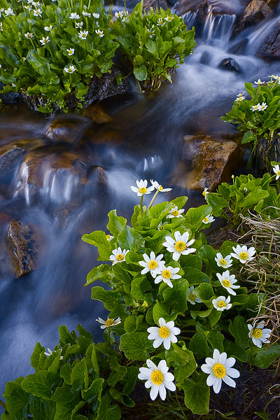 wildflower, marigold, summer, cascade, Wyoming, Snowy Range, photo