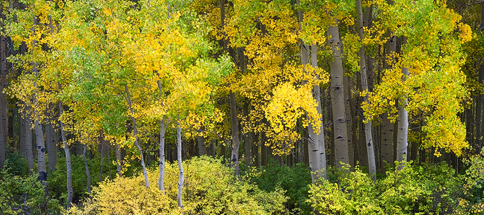 Colorado, aspen, fall, autumn, Durango, mountain, tree, forest, La Plata, photo