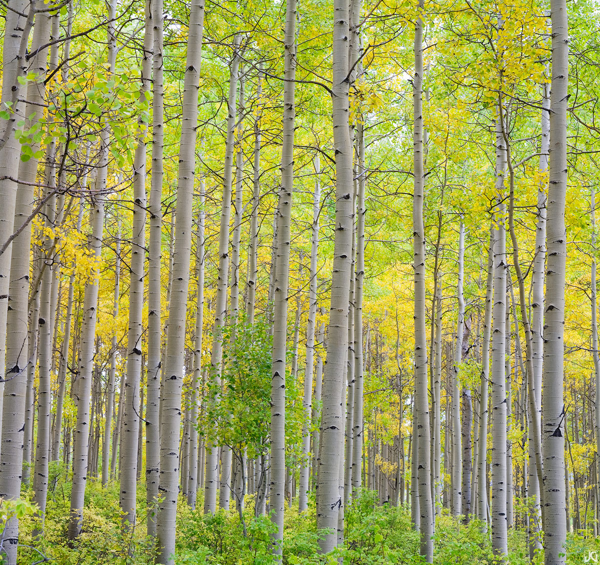 Colorado, aspen, fall, autumn, Durango, La Plata Mountains, forest, photo