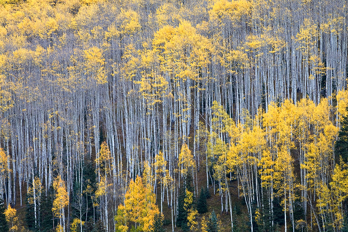Colorado, aspen, tree, autumn, fall, evergreen, Castle Creek, forest, hillside, photo
