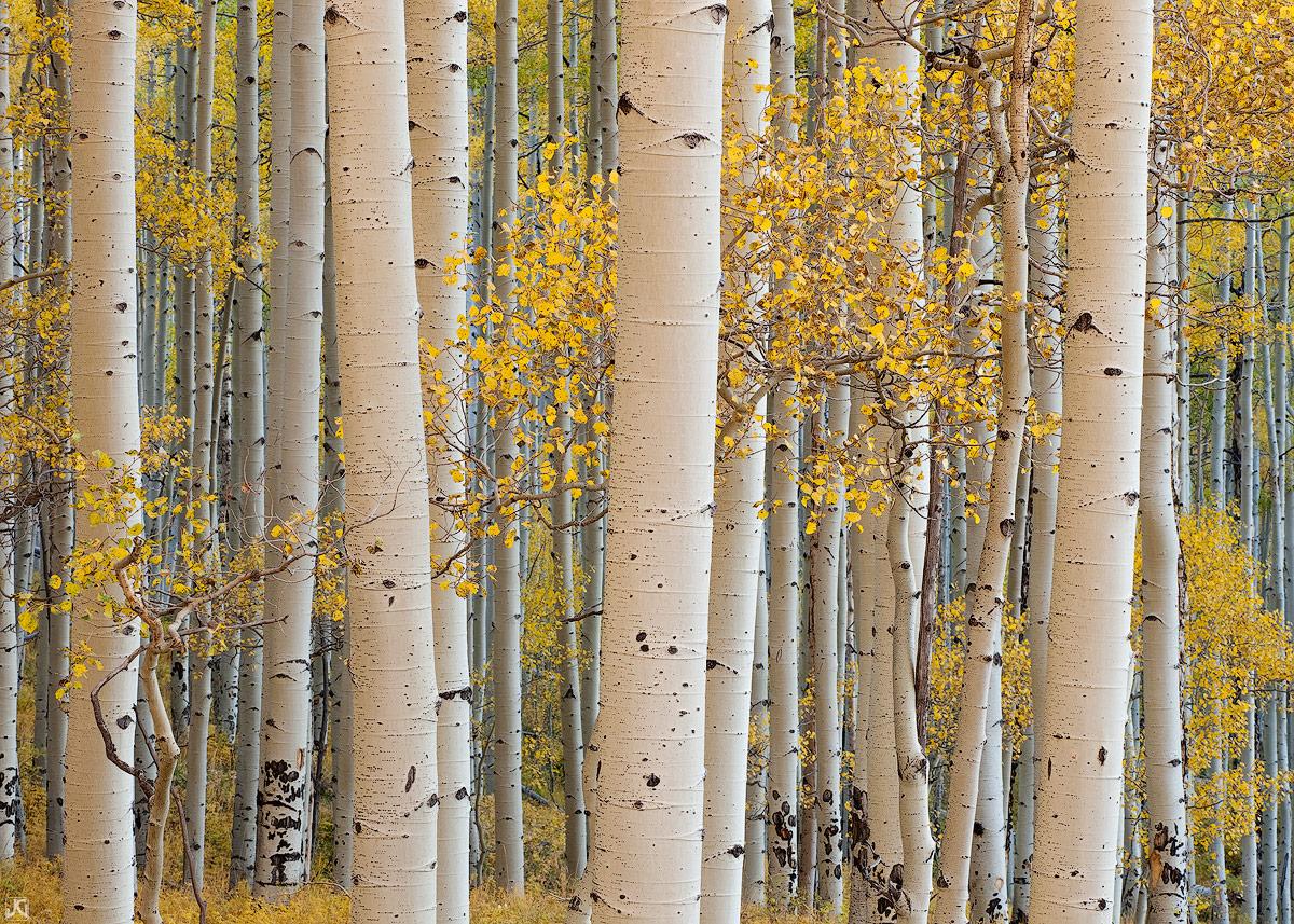 Colorado, aspen, Telluride, autumn, forest, Last Dollar, Uncompahgre National Forest, San Juan Mountains, photo