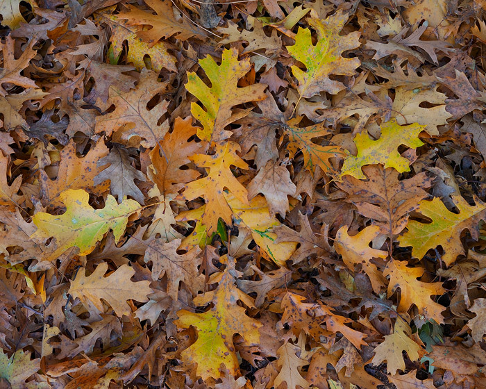 Autumn leaves from nearby oak trees gather to form a fall carpet throughout Yosemite Valley.