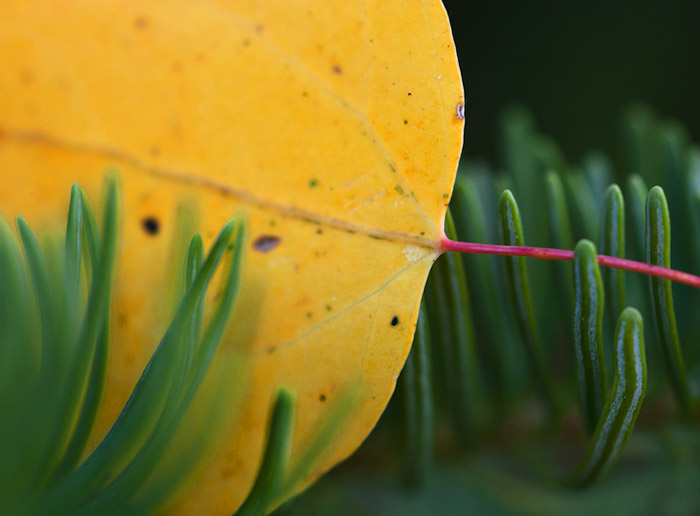 aspen, leaf, autumn, tree, Wyoming, fall, photo