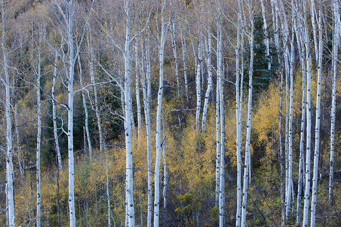 fall, autumn, Colorado, aspen, photo