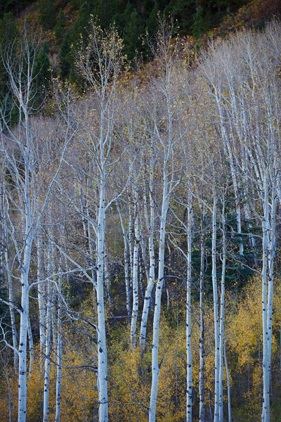 aspen, autumn, Colorado, fall, photo