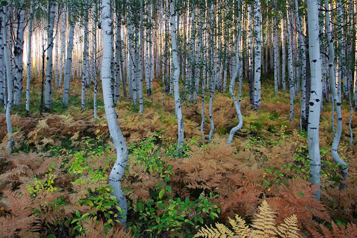 fern, aspen, autumn, Colorado, fall, photo