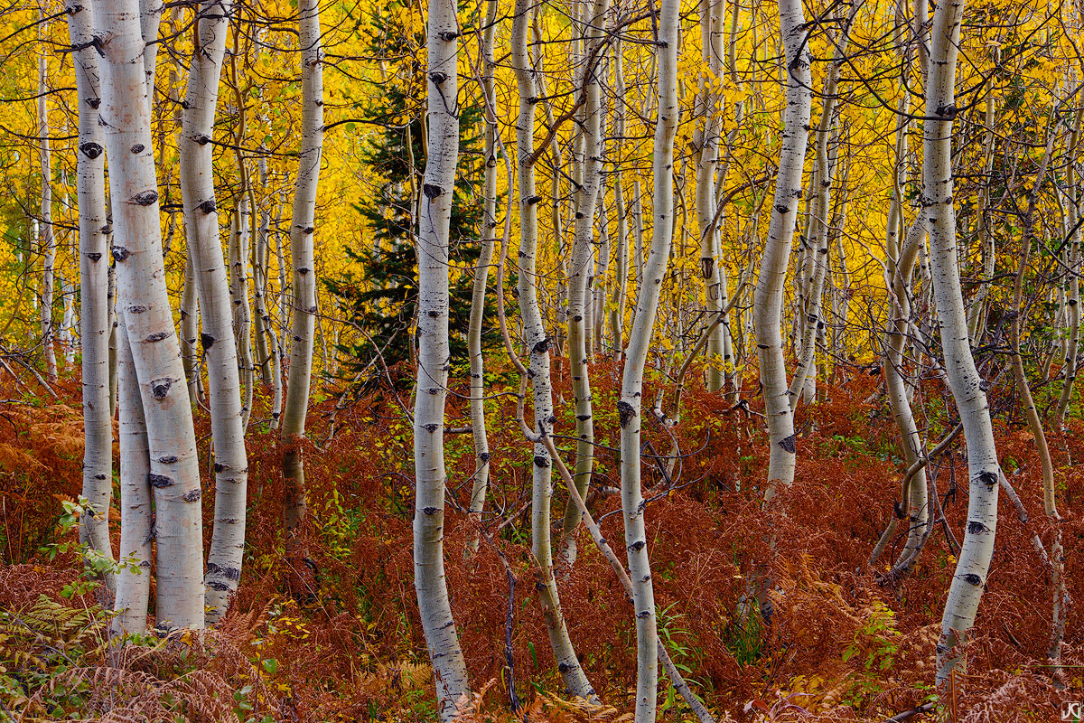 Colorado, aspen, autumn, tree, Kebler Pass, Gunnison National Forest, fern, photo