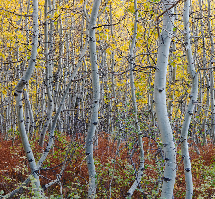 Colorado, aspen, autumn, fern, tree, fall, Kebler Pass, Gunnison National Forest, photo