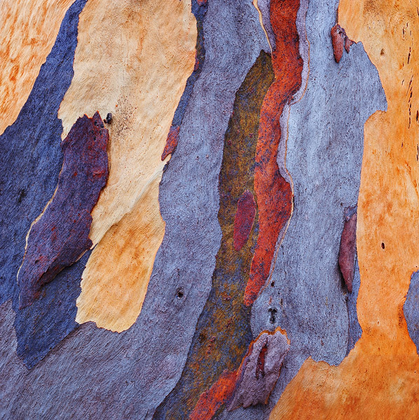 eucalyptus, bark, tree, photo