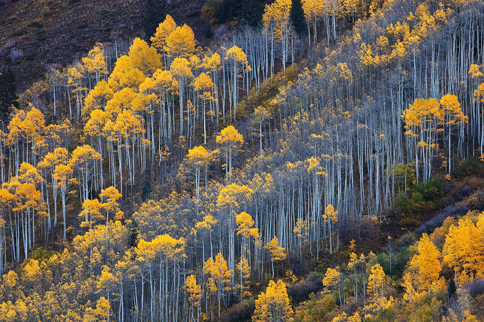 The hillside near Maroon Bells is bursting with the color of the autumn aspen trees.