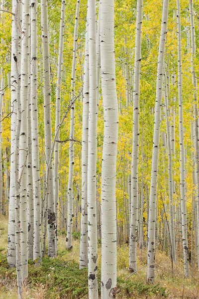 Colorado, aspen, Telluride, autumn, forest, Uncompahgre, photo