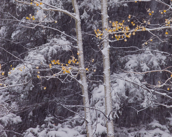 An autumn snow storm hits the San Juan Mountains, blanketing the aspen and pine forest below.