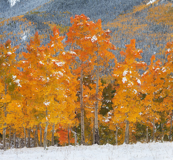 Colorado, aspen, forest, autumn, snow, San Juan Mountains, Silver Jack, photo