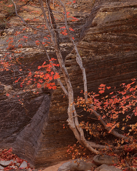 Utah, Zion National Park, autumn, maple, canyon, tree, photo