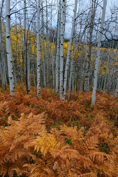Colorado, aspen, autumn, forest, ferns, fall, trees, photo
