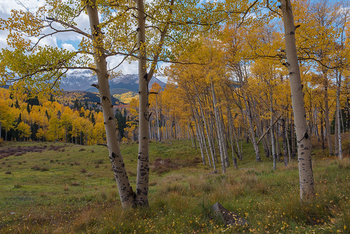 Colorado, aspen, autumn, tree, fall, photo
