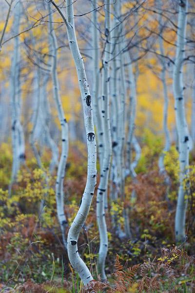 Colorado, aspen, autumn, tree, fall