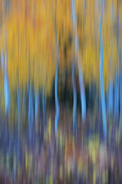 Colorado, aspen, autumn, tree, fall, photo