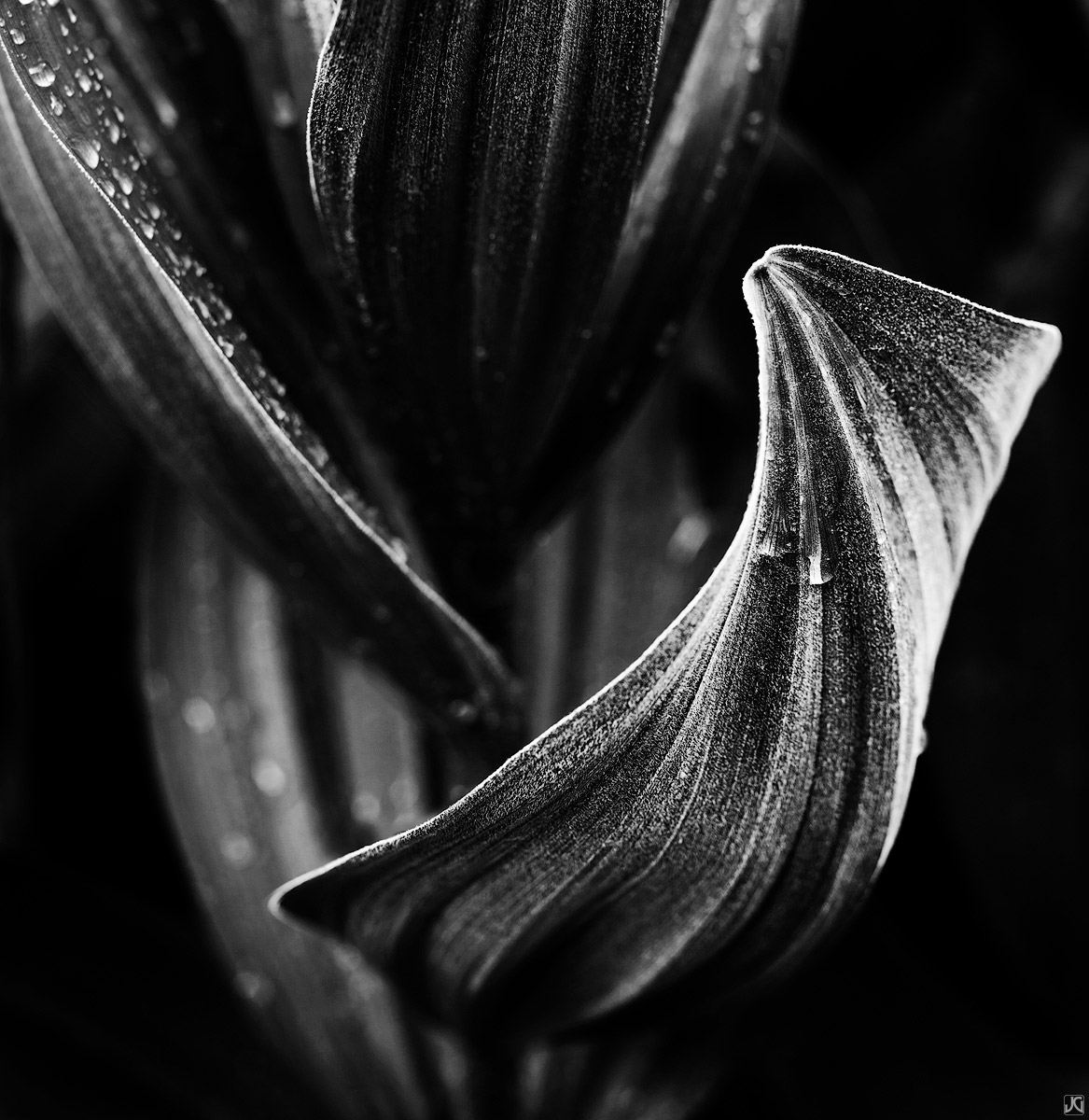 colorado, corn lily, curves, textures, summer, photo