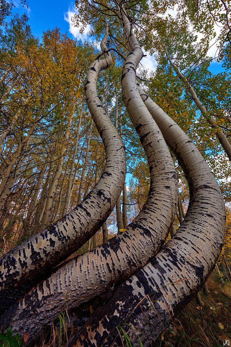 aspen, fall, dance, forest, colorado, photo