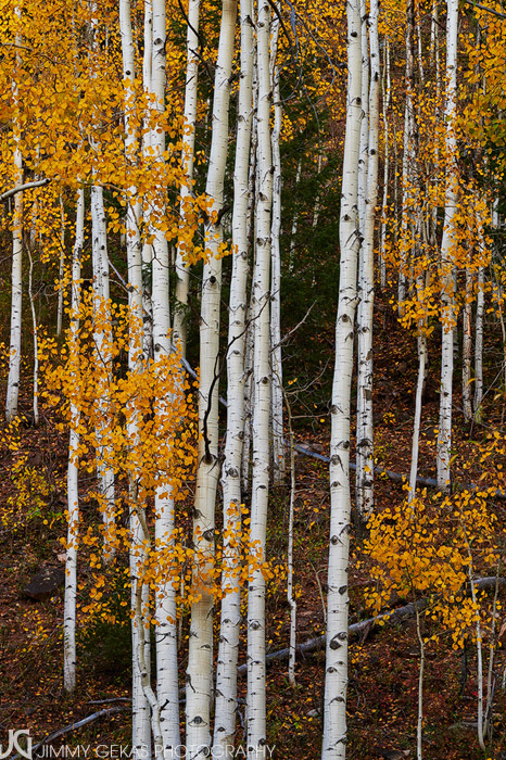 aspen, fall, autumn, Colorado, photo