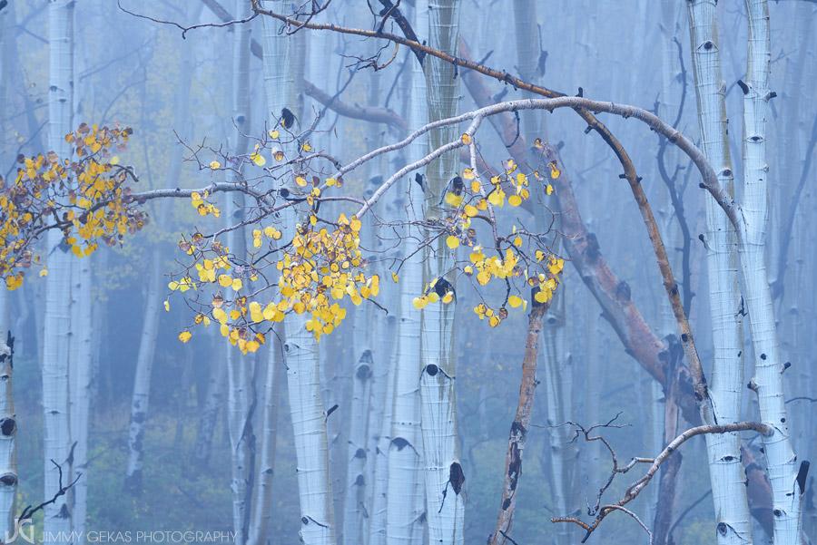 aspen, fall, autumn, Colorado, photo