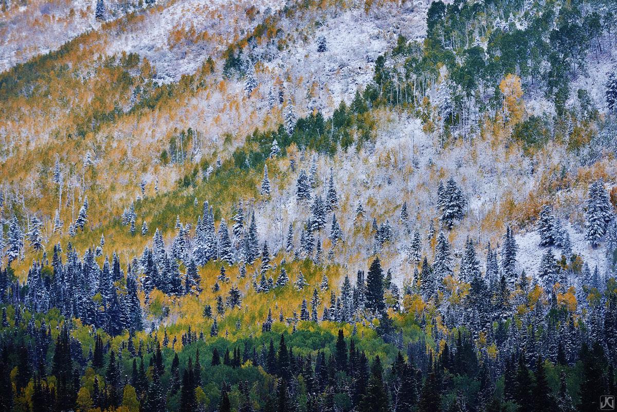 A late autumn snow dusts autumn colored aspen trees.