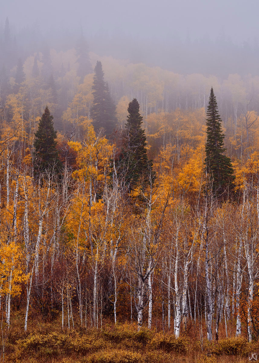 Colorado, aspen, forest, autumn, fog, photo