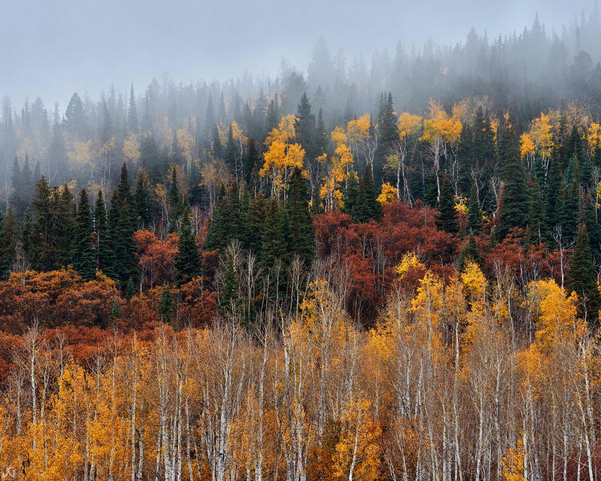 Colorado, aspen forest, autumn,  fog, photo