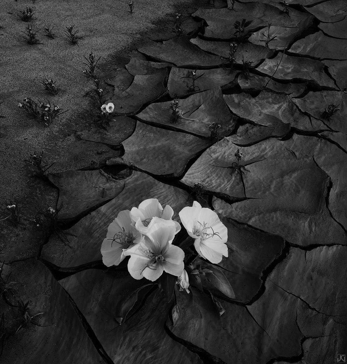 Along a dry wash in the midst of a seemingly lifeless desert, wildflowers spring to life.