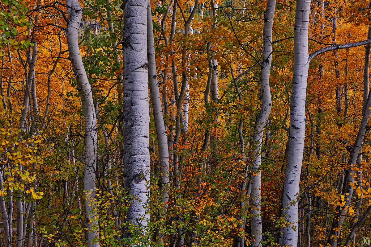 colorado, autumn, fall, aspen, trees, forest, photo