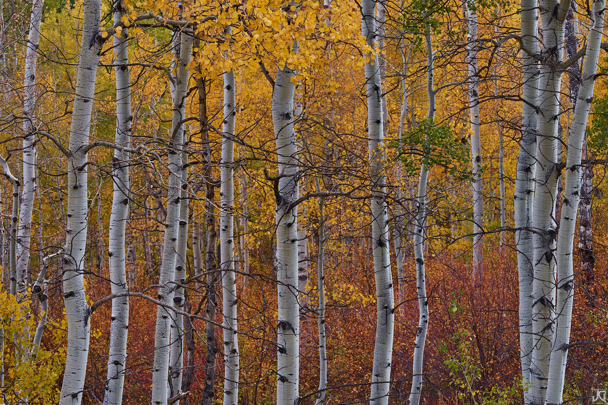 The chaotic aspen forest, with all their twisting branches and different stages of autumn coloring, can be quite mesmerizing...