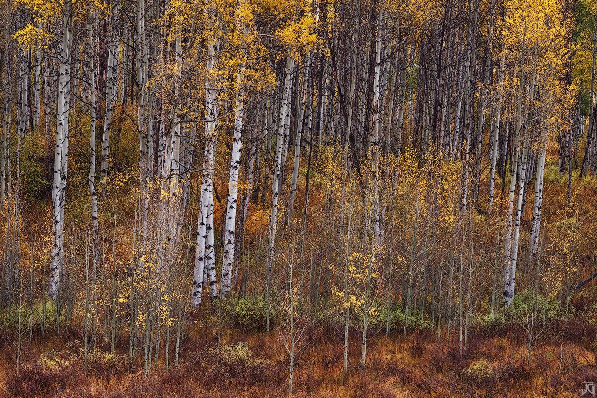 colorado, aspen, autumn, forest, photo