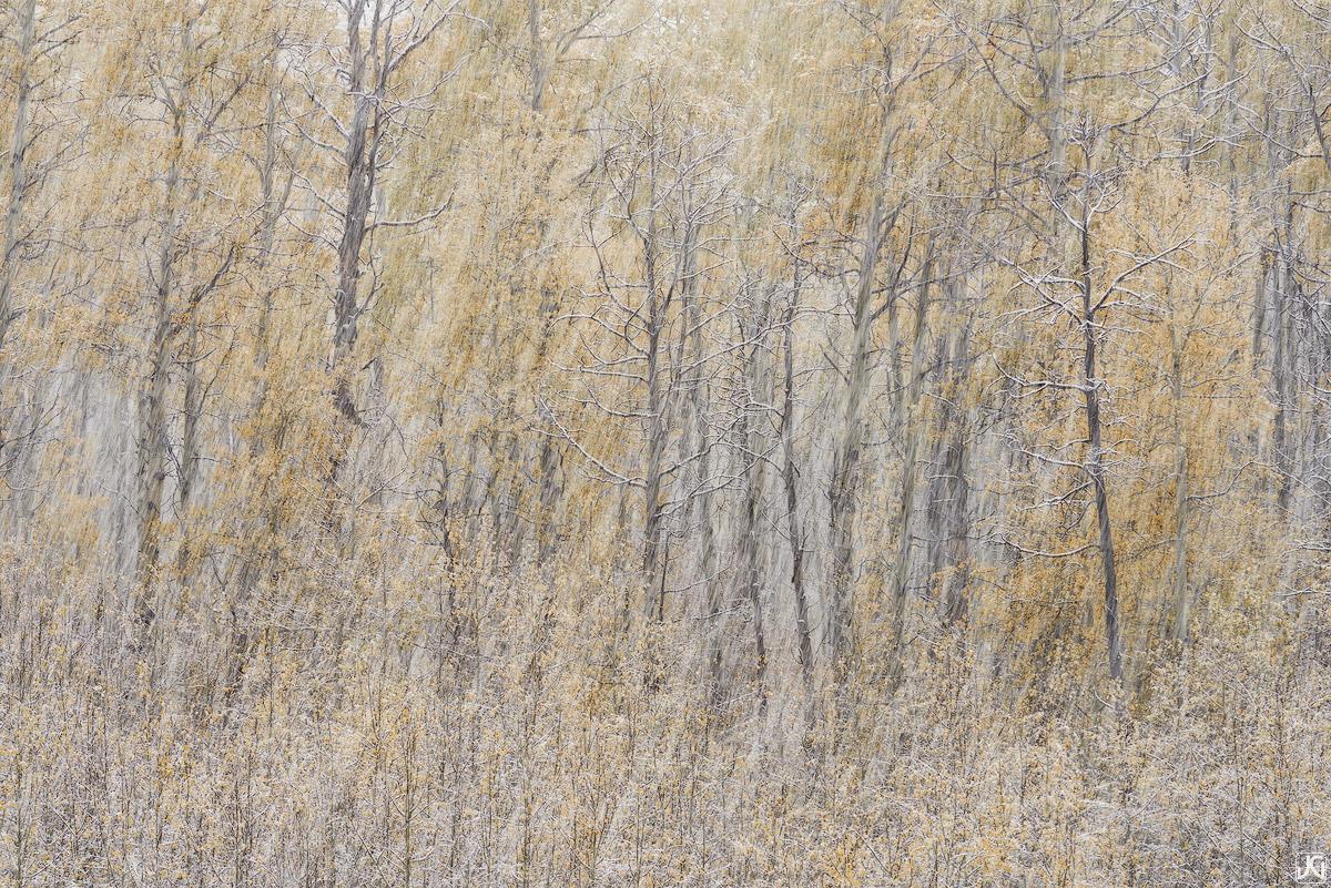 Colorado, aspen, forest, autumn, photo