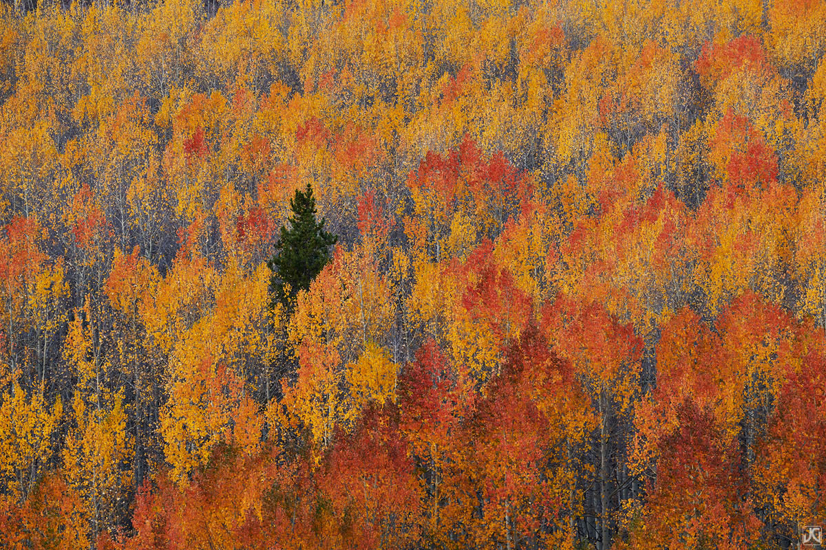 Colorado, aspen, tree, forest, autumn, pine, photo