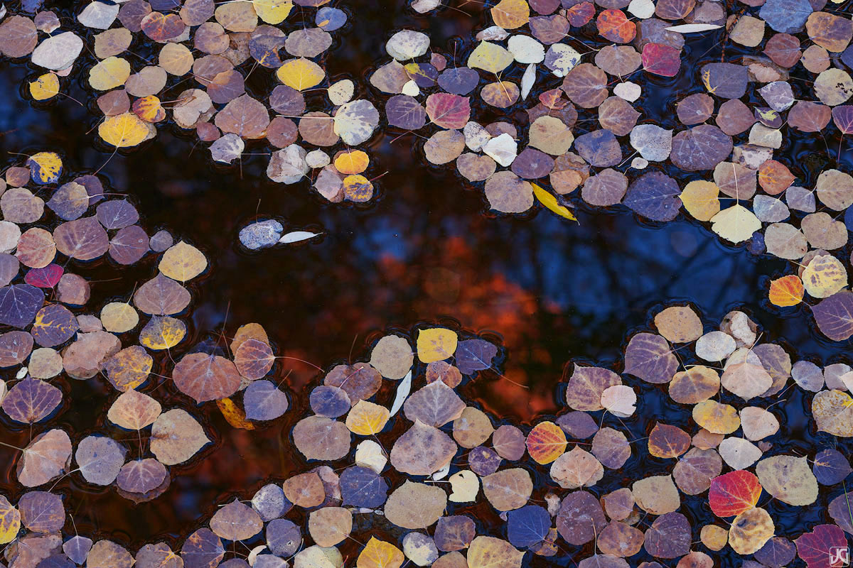 Autumn aspen leaves float on top of a small pool of water, as the reflections of trees above glow in the middle.