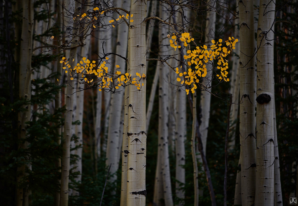 Autumn aspen leaves stand out inside a dark forest.